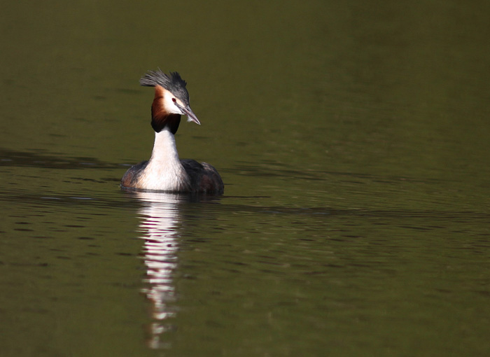 Great-crested Grebe 1, Mere Sands Wood, 22 Apr 2016