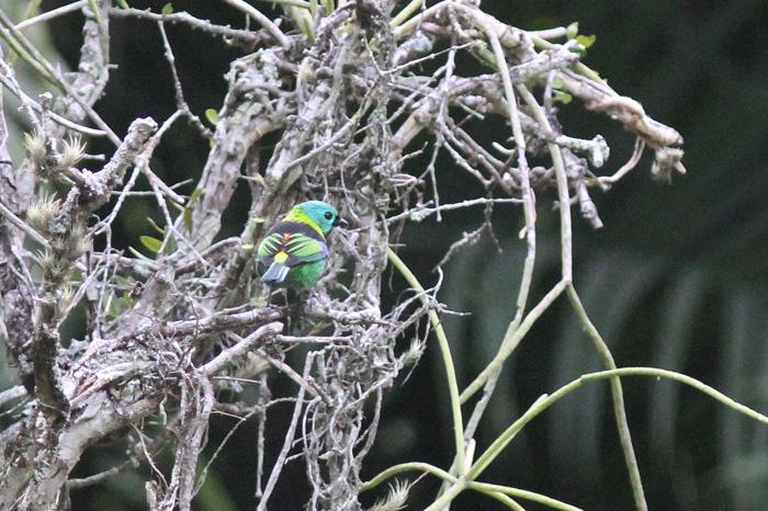 Green-headed Tanager 3, Rio Botanic Garden, 31 Mar 2015