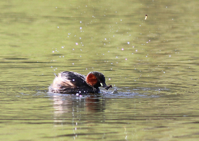 Little Grebe 1a, Mere Sands Wood, 22 Apr 2016