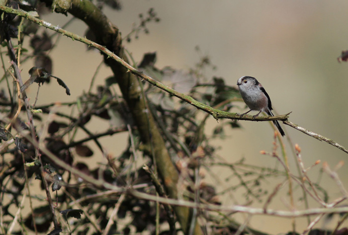 Long-tailed Tit 1, Titchfield Canal, 9 Apr 2016