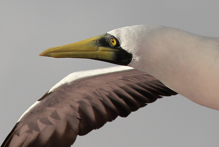 Masked Booby 2, Central Atlantic Ocean, 5 Apr 2015