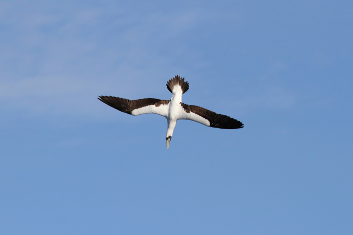 Masked Booby 4, Central Atlantic Ocean, 8 Apr 2015