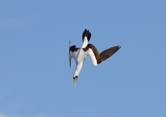 Masked Booby 44, Central Atlantic Ocean, 8 Apr 2015