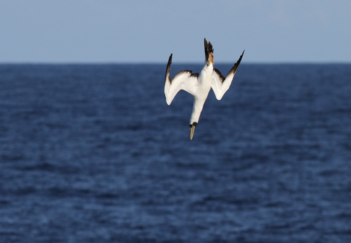 Masked Booby 4444, Central Atlantic Ocean, 8 Apr 2015