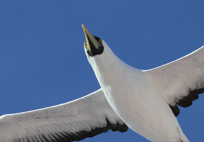 Masked Booby 5a, Central Atlantic Ocean, 5 Apr 2015