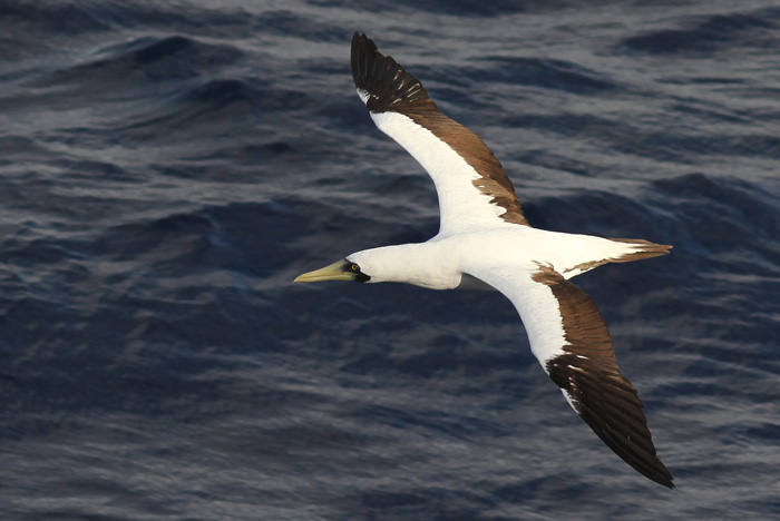 Masked Booby 6a, Central Atlantic Ocean, 5 Apr 2015_edited-1
