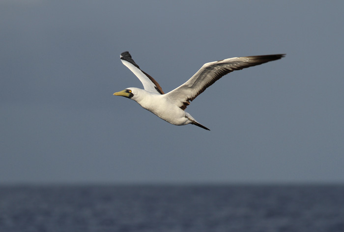 Masked Booby 7, Central Atlantic Ocean, 5 Apr 2015