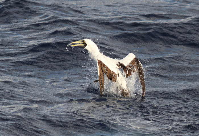 Masked Booby 9, Central Atlantic Ocean, 5 Apr 2015