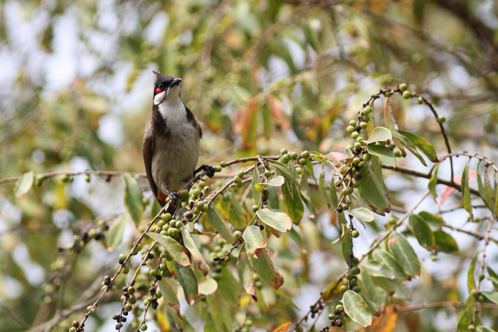 Red-whiskered Bulbul 1, Hong Kong Wetland Park, 6 March 2016