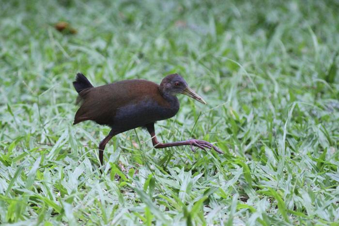 Slaty-breasted Wood Rail 3, Rio Botanic Garden, 31 Mar 2015