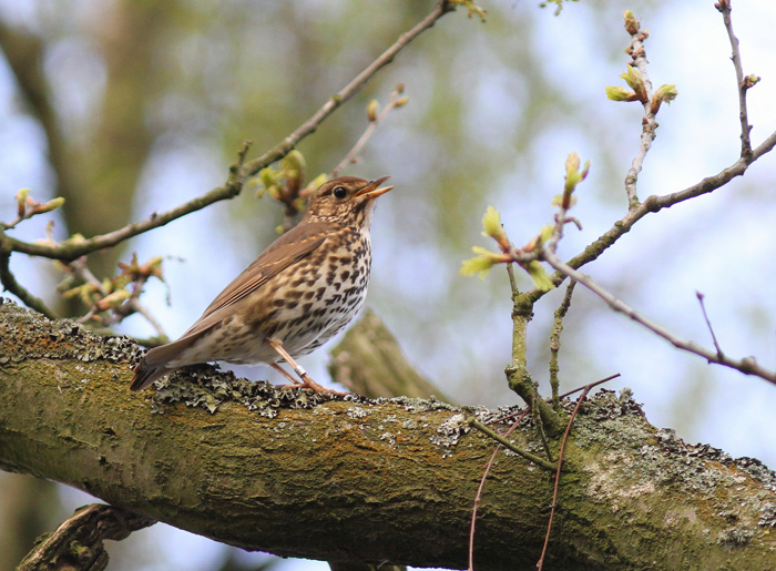 Song Thrush 1, Mere Sands Wood, 22 Apr 2016