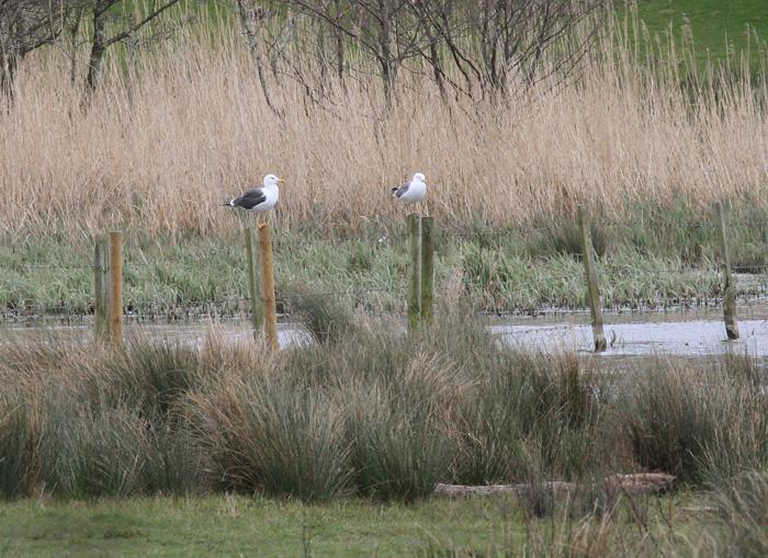 Yellow-legged Gull 2 (poss), Posbrook Floods, 9 Apr 2016