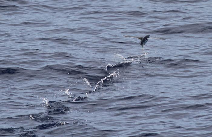 Flying Fish 4, Central Atlantic Ocean, 8 Apr 2015