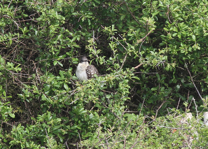 Great-spotted Cuckoo 2a, Portland, 19 May 2016