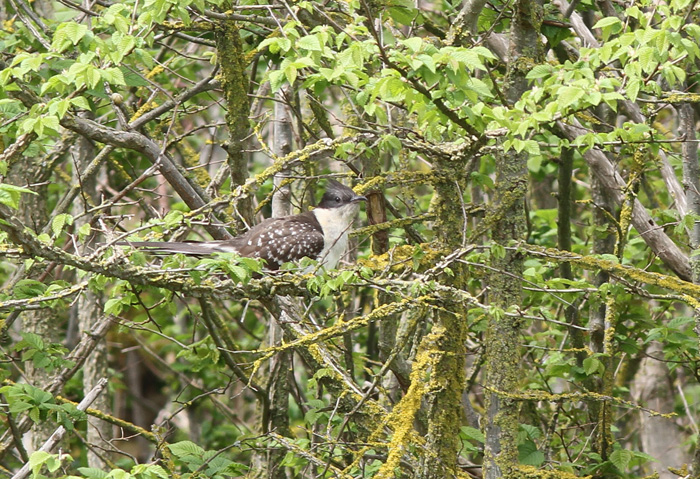 Great-spotted Cuckoo 2a, Portland, 20 May 2016