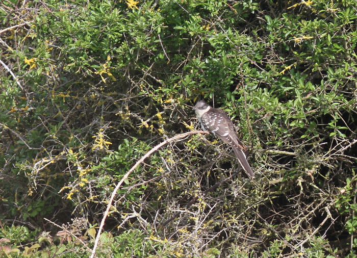 Great-spotted Cuckoo 3b, Portland, 19 May 2016