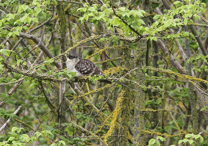 Great-spotted Cuckoo 4a, Portland, 20 May 2016
