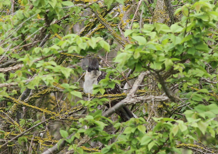 Great-spotted Cuckoo 6a, Portland, 20 May 2016