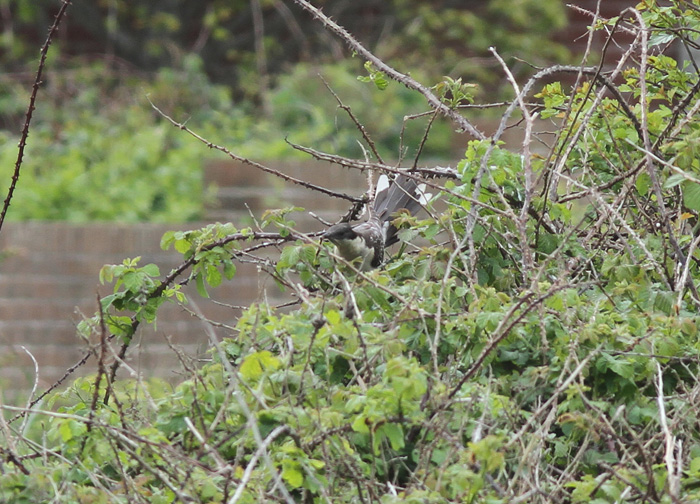Great-spotted Cuckoo 8, Portland, 20 May 2016
