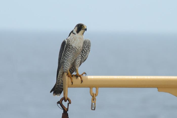 Peregrine Falcon, ad 1 , Central Eastern Pacific, 24 Apr 2014