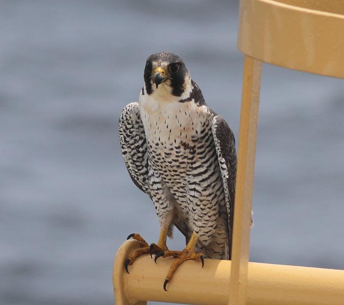 Peregrine Falcon, ad 3 , Central Eastern Pacific, 24 Apr 2014