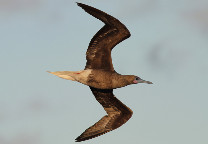Red-footed Booby 1a, Central Atlantic Ocean, 8 Apr 2015