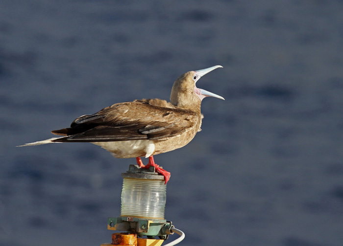 Red-footed Booby 2, Central Atlantic Ocean, 9 Apr 2015