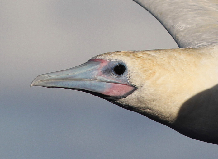Red-footed Booby 4b, Central Atlantic Ocean, 7 Apr 2015