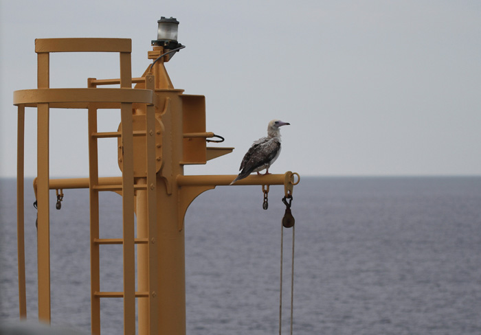Red-footed-Booby-5-Canary-Islands-23-Sep-2012