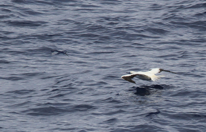 Red-footed Booby 5, Central Atlantic Ocean, 8 Apr 2015