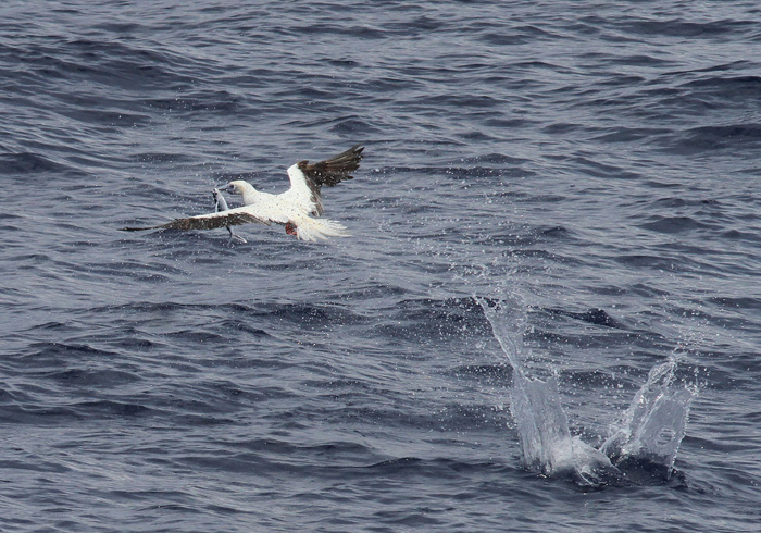 Red-footed Booby 5555, Central Atlantic Ocean, 8 Apr 2015