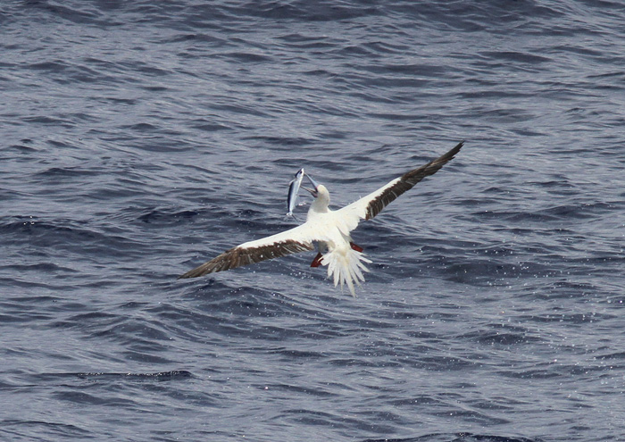 Red-footed Booby 55555, Central Atlantic Ocean, 8 Apr 2015