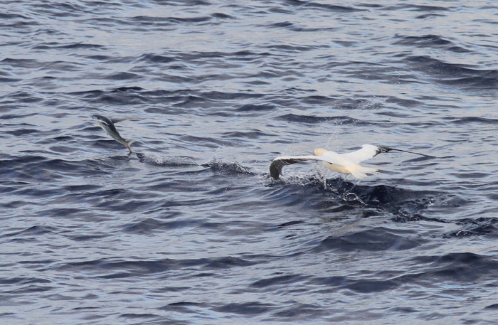 Red-footed Booby 8, Central Atlantic Ocean, 8 Apr 2015