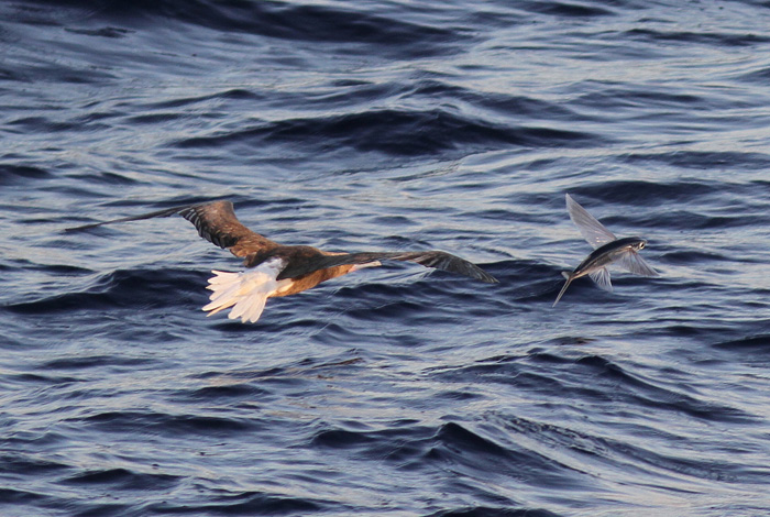 Red-footed Booby and  Fish 2a, Central Atlantic Ocean, 8 Apr 2015