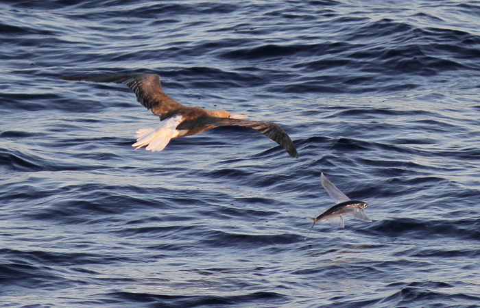 Red-footed Booby and  Fish 3a, Central Atlantic Ocean, 8 Apr 2015