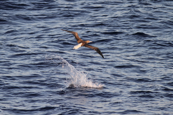 Red-footed Booby and  Fish 4, Central Atlantic Ocean, 8 Apr 2015