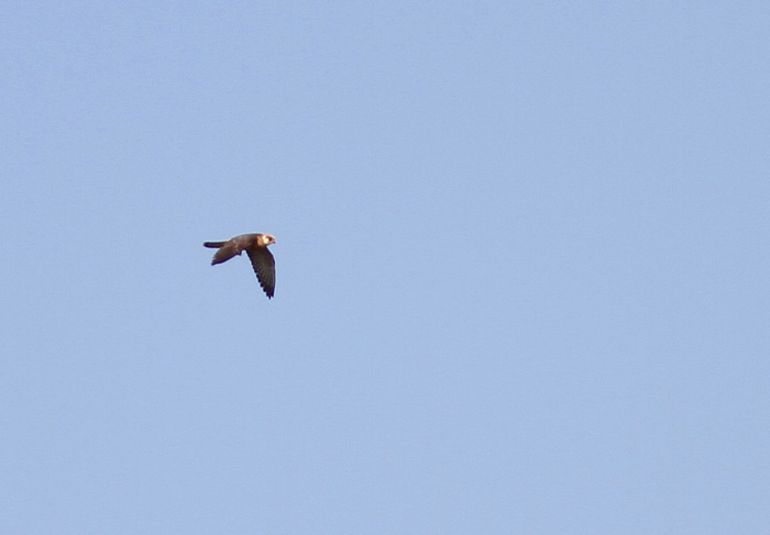 Red-footed Falcon 1a, Cotswold Water Park, 26 May 2016