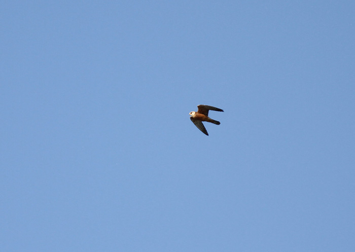 Red-footed Falcon 2a Cotswold Water Park, 26 May 2016