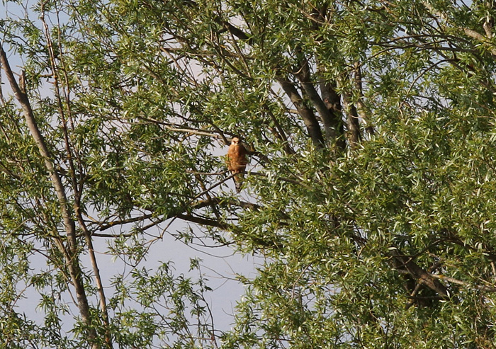 Red-footed Falcon 3a, Cotswold Water Park, 26 May 2016