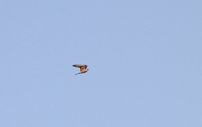Red-footed Falcon 4, Cotswold Water Park, 26 May 2016