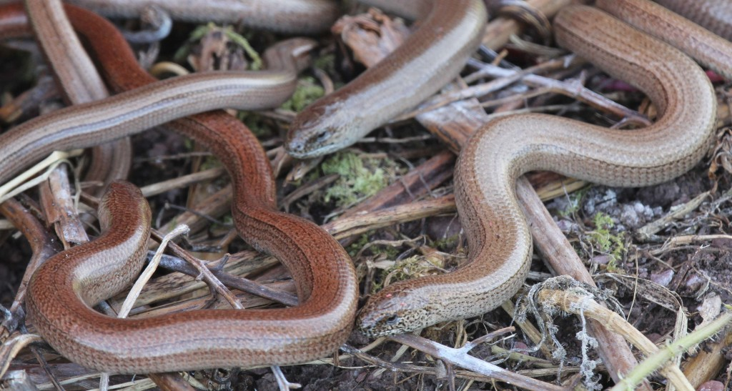 Slow worms 1