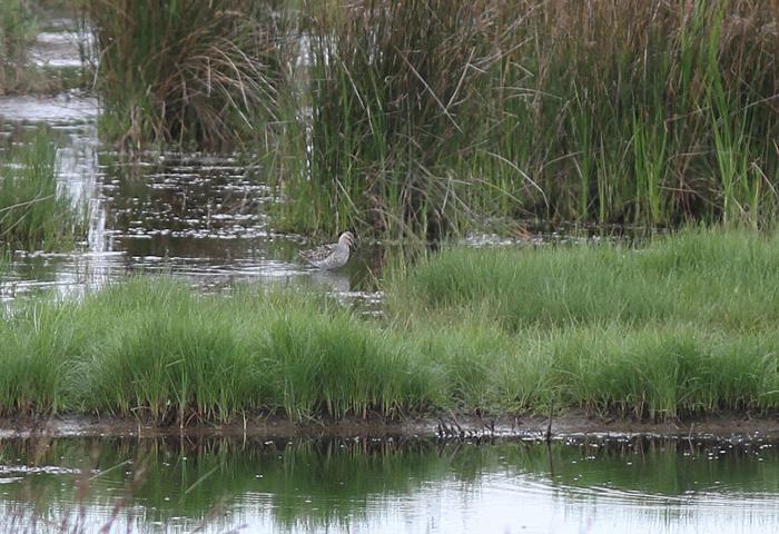 Stilt Sandpiper 4, Pennington Marshes, 22 May 2016