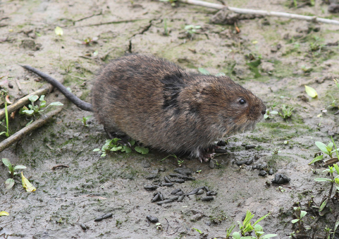 Water Vole 2a, Titchfield Canal, 21 May 2016