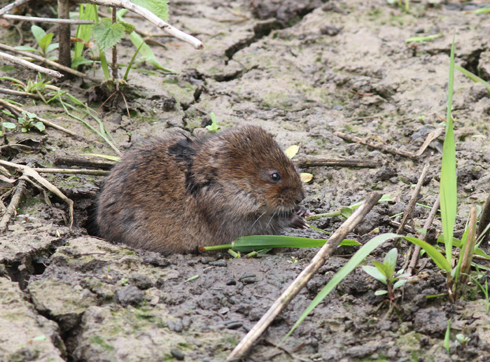 Water Vole 4, Titchfield Canal, 21 May 2016