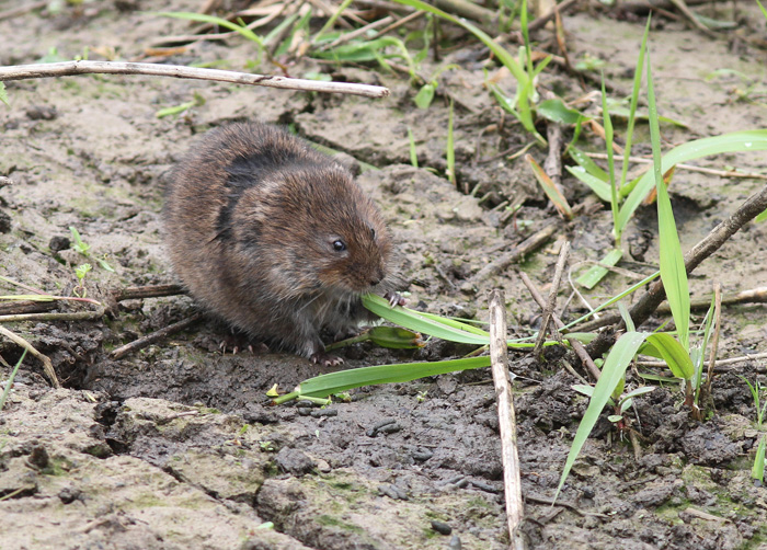 Water Vole 5, Titchfield Canal, 21 May 2016