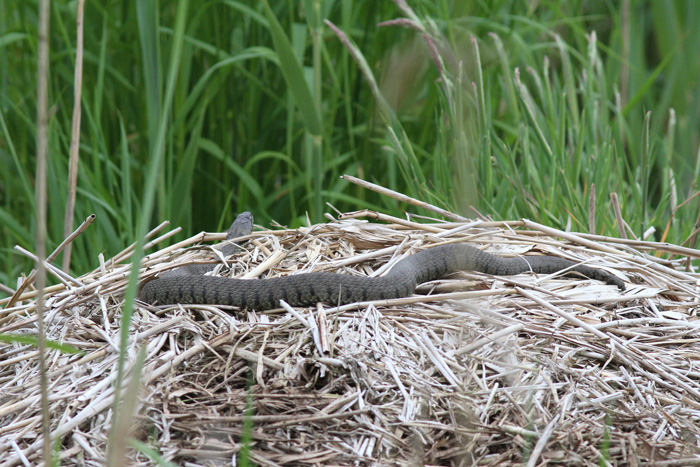 Grass Snake 1, Ynis Hir, 4 June 2016