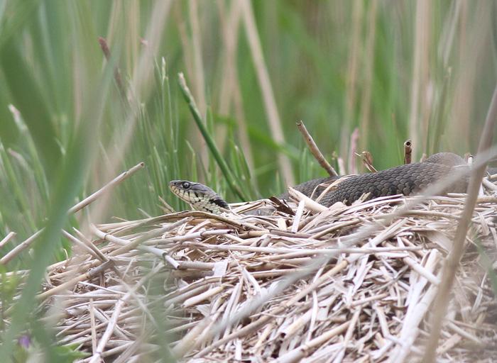 Grass Snake 2, Ynis Hir, 4 June 2016