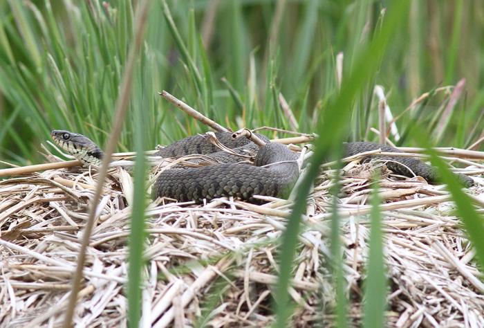 Grass Snake 3, Ynis Hir, 4 June 2016