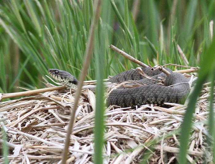 Grass Snake 4, Ynis Hir, 4 June 2016