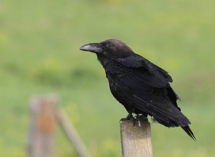 Raven 3a, Portland, 20 May 2016